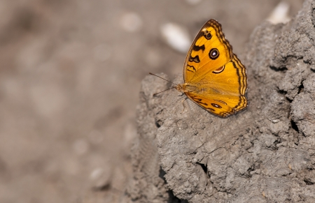 Peacock Pansy, Junonia almana, butterfly sitting on dried mud with both wings spread with out of focus background and copy space photo