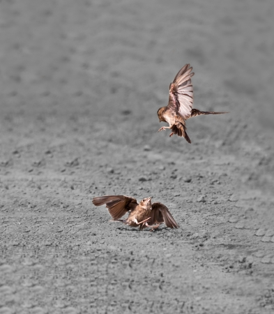 calcutta: Birds two Ashy-crowned Sparrow Larks fighting on dust copy space