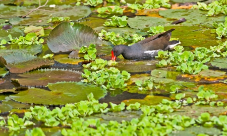 Bird, Common Moorhen searching for food in lake water amongst Lotus leaves and flower buds