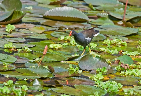 Bird, Common Moorhen searching for food in lake water amongst Lotus leaves and flower buds Stock Photo