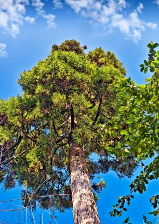 Tall green tree in the backdrop of blue sky and white fluffy clouds, saturated, nature, Darjeeling, Stock Photo - 14882296