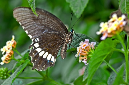 pollinator: Butterfly