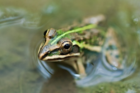 Frog, Bullfrog, waiting in a mud puddle partly submerged with green algae photo