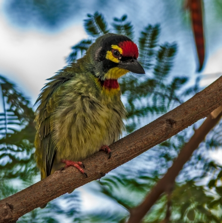 bipedal: Beautiful small Bird Coppersmith Barbet perched on a tree branch