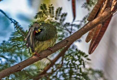 Beautiful small Bird Coppersmith Barbet perched branch scratching cleaning feathers