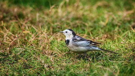 motacilla: Bird, Lavandera blanca, Motacilla alba, M un leucopsis en la hierba verde