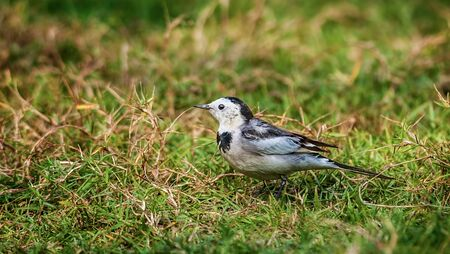 Bird, White Wagtail, Motacilla alba, M  a  leucopsis on green grass Stock Photo - 16553311