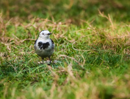 Bird, White Wagtail, Motacilla alba, M  a  leucopsis on green grass photo