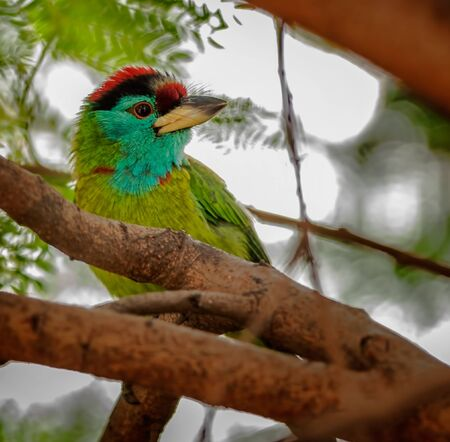 Bird, Blue-throated Barbet perched on a tree branch Stock Photo