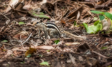 Squirrel amongst dry leaves, garden, nature, wildlife, copy space Stock Photo