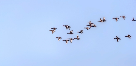 crested duck: Red-crested Pochard,migratory,  flock, bird, Diving duck, Rhodonessa rufina,  flying, copy space