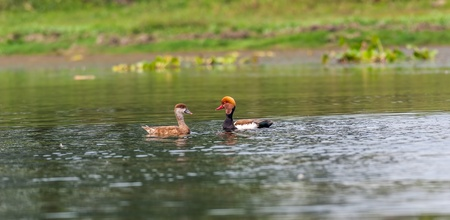Two Red-crested Pochards,migratory, bird, Diving duck, Rhodonessa rufina, swimming in water, copy space Stock Photo