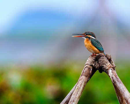 Common Kingfisher, Alcedo atthis, small bird, perched o bamboo, copy space Stock Photo