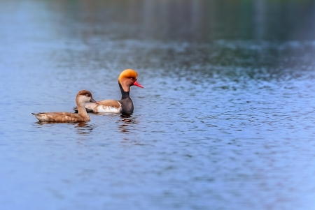 crested duck: Red-crested Pochards,migratory, bird, Diving duck, Rhodonessa rufina, swimming in water, copy space