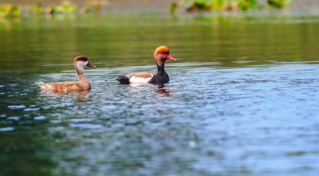 crested duck: Two Red-crested Pochards,migratory, bird, Diving duck, Rhodonessa rufina, swimming in water, copy space Stock Photo