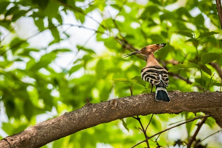 Common Hoopoe, Upupa epops, bird, perched on tree branch, sunlight, leaves, green, copy space photo