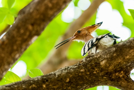 Common Hoopoe, Upupa epops, bird, perched on tree branch, sunlight, leaves, green, copy space Stock Photo