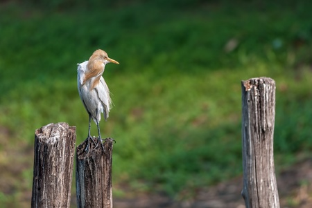 Cattle Egret, perched on a wooden pole in green background, copy space photo