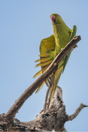 Rose-ringed Parakeet, perched on a tree branch, nature, copy space