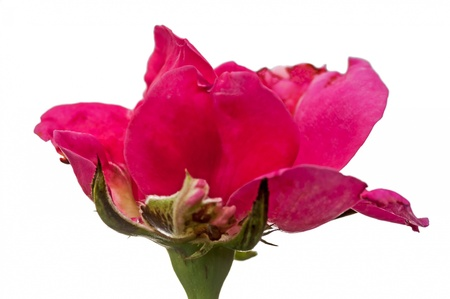 Close up of blooming pink rose flower isolated on white, back lit