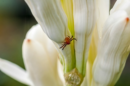 Brown Spider on white tube rose flower, close up, macro, copy space,
