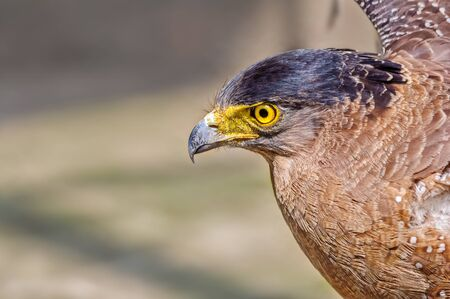 Close up portrait of a captive Golden Eagle  Aquila chrysaetos with copy space Stock Photo