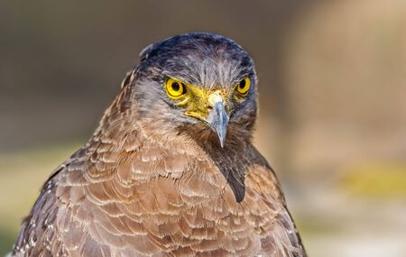 Close up portrait of a captive Golden Eagle  Aquila chrysaetos with copy space photo