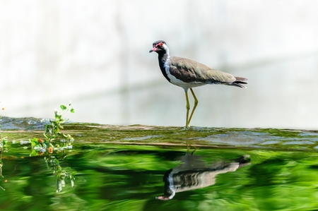 plummage: Red-wattled Lapwing bird sitting at the water edge
