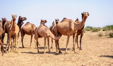 Herd of Indian Camels, Camelus dromedarius, in deserts of Rajasthan, India