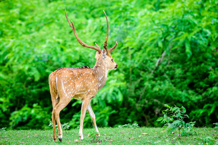 Animal, Indian Spotted Deer, Axis axis in the wild with copy space