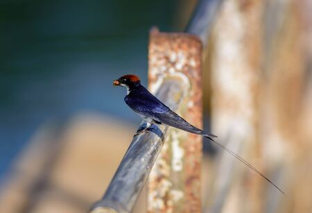 Small bird, Wire-tailed Swallow, Hirundo smithii, perched on a railing, copy space