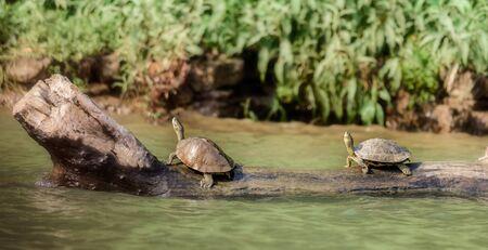 Two Indian Roofed Turtles, Kachuga tecta, basking in the sun, Mahanadi river bank inside Satkosia Tiger Reserve, copy space