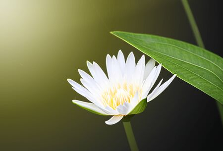 nenuphar: Lotus from the water with light