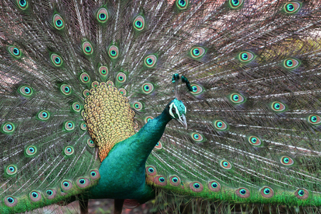 Pavo muticus has a crest on the head, straight up as a bunch. The cheekbones are blue and yellow, the back of the neck is green.