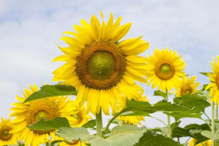 Sunflowers in the sun, hot but always beautiful. Archivio Fotografico