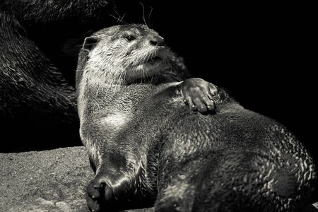 Adult Otters portrait.Oriental small clawed otter (Aonyx cinerea) on isolated black background