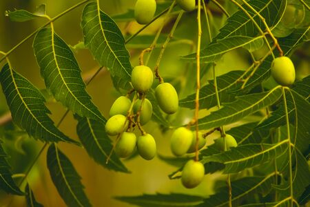Fresh Neem fruit on tree with leaf on nature background. A leaves of neem tree and fruits growing natural medicinal. Azadirachta indica,neem, nimtree or Indian lilac,mahogany family Meliaceae Archivio Fotografico