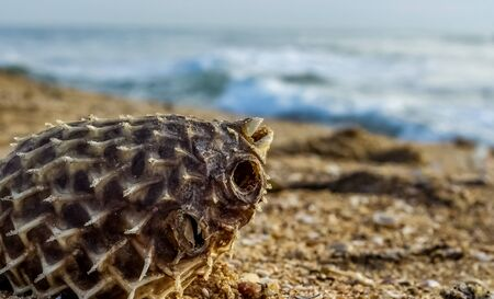 Dead Puffer Fish Washed up on Beach. Long-spine porcupinefish also know as spiny balloonfish - Diodon holocanthus on beach sand. 写真素材