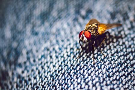 Housefly close up Macro shot. The housefly is a fly of the suborder Cyclorrhapha, and has spread all over the world as a commensal of humans. It is the most common fly species found in houses