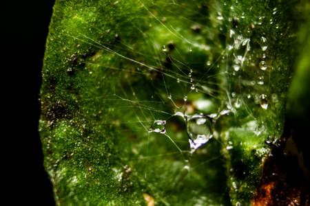 Rain water drop on Spider web with background of Plant Leaves. Fresh grass with dew drops close up - Spider net with water drops.