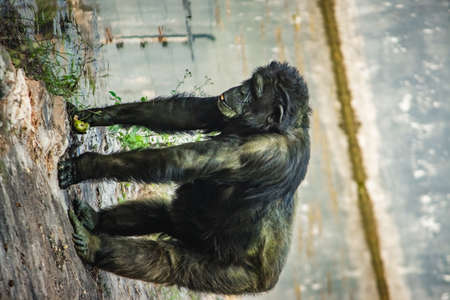 Young gigantic male Chimpanzee standing on near water pond and looking at the camera. Chimpanzee in close up view with thoughtful expression. Monkey & Apes family 版權商用圖片