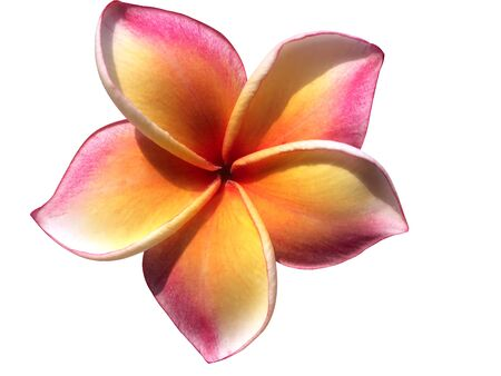Pink yellow flowers of the frangipani and the brightly illuminated sunlight in the morning shone on White background