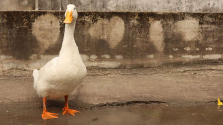 black-eyed white duck playing on the ground Stok Fotoğraf