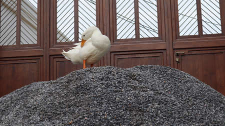 A beautiful, clean, white feathered duck stood on a gray stone pile.