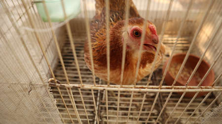 A small brown bantam laying eggs in a cage.