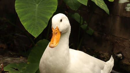 A black-eyed white duck is  on the ground.
