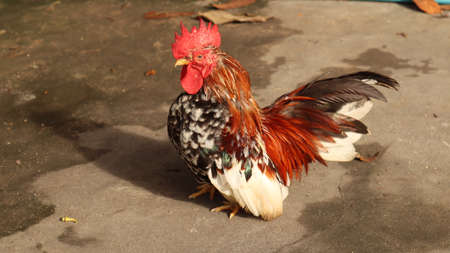 Bantam chickens Black fur with yellow hair on the neck Standing on a cement floor Stok Fotoğraf