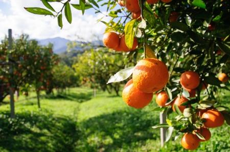 tangerine: Orange tree