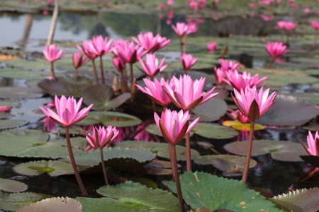 corbel: Pink lotus in the pond
