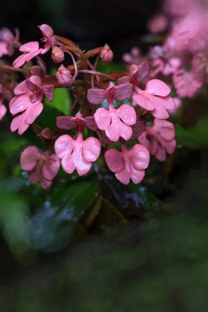 wilding: Habenaria rhodochela flower ,Phu Hin Rong Kla; National Park at Phitsanulok, Thailand Stock Photo